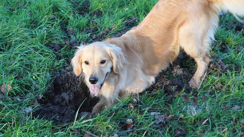 Установите причину раскопок и отвлеките собаку от этого занятия