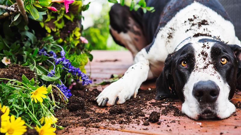 Попробуйте отучить собаку от рытья ям с помощью запрещающей команды